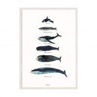 Виды Китов.